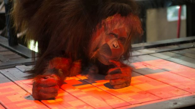 The coloured tiles on the interactive game turn black when touched by the orang-utan.