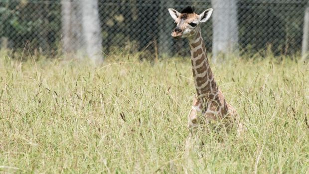 Mogo Zoo has welcomed a newborn giraffe, the fifth baby for mum Shani.
