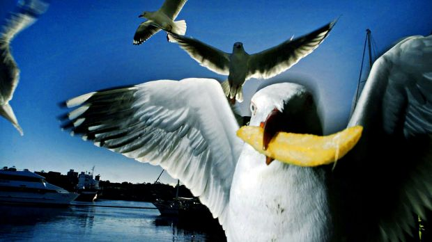 One thing is indisputable - seagulls love hot chips.