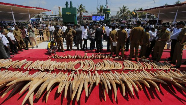 A shipment of African ivory seized three years ago, displayed before its destruction in Sri Lanka last month.