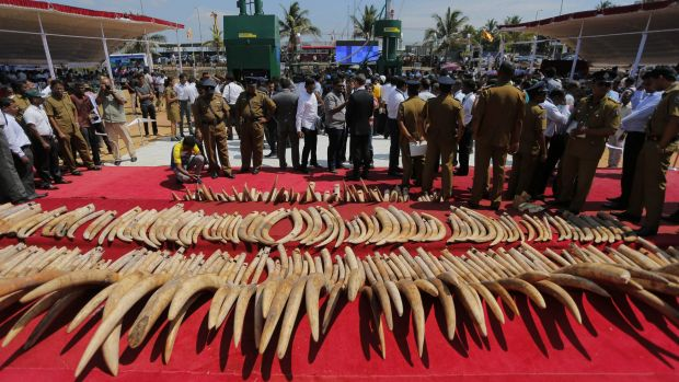 A shipment of African ivory seized three years years ago, displayed before its destruction in Sri Lanka last month.