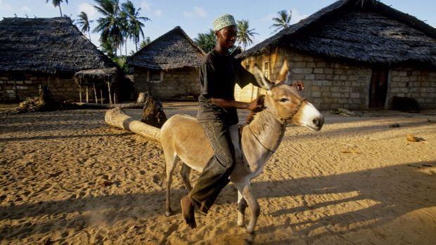 A donkey rider in Kipangani village on Lamu Island.