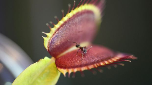 The Venus flytrap, a plant that eats insects, will clamp its leaves shut only after trigger hairs are tripped two times ...