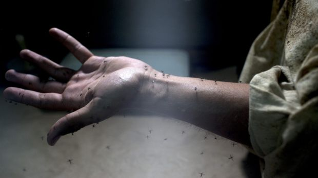 A lab worker exposes his arm to Aedes Aegypti mosquitoes, responsible for the spread of the Zika virus, during testing ...