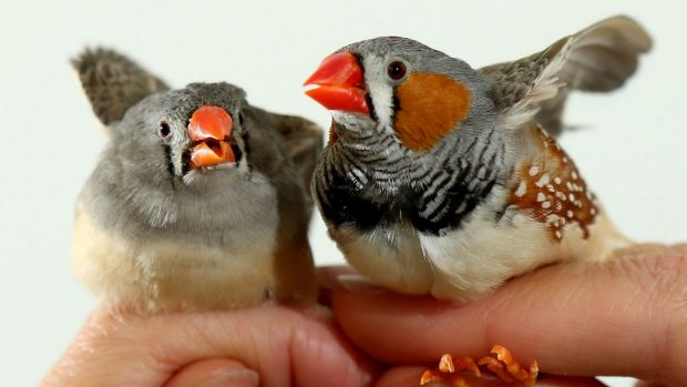 Zebra finches are hardy birds but a warming climate will affect even them.