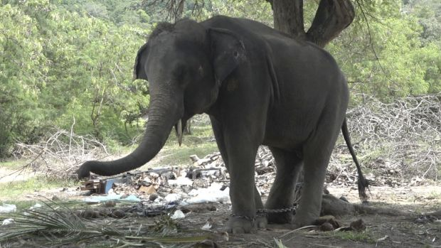 An elephant dubbed Rambo but also called by his nickname Golf is chained to a tree on the Thai resort island of Koh ...