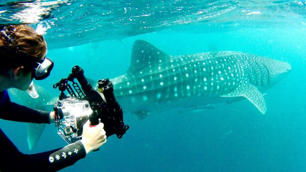 Nicole McLachlan said whale sharks were one of the species that were caught in shark nets and drumlines along ...