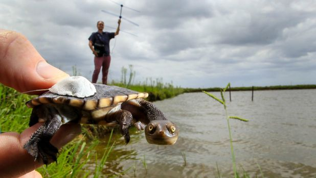 Baby eastern long-necked turtles were released in Richmond by Western Sydney University researchers on Friday.