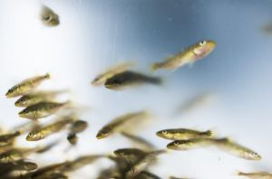 Some of the Murray cod fingerlings released into the Queanbeyan River.