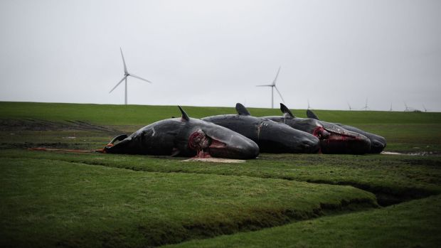 Three of the eight sperm whales to have washed up on the mud flats near Dithmarschen, Germany.