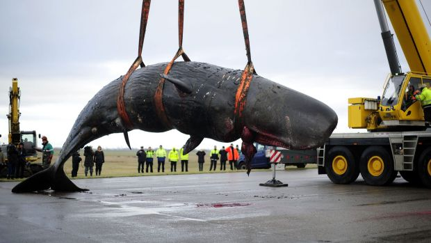 German teams move one of the dead whales from a beach near Dithmarschen.