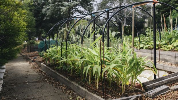 A nature strip garden in O'Connor, complete with hoop house for winter growing.