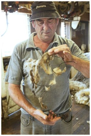 Farmhand Leon Hueppauff shows the barbed wire that was stuck in the wool.
