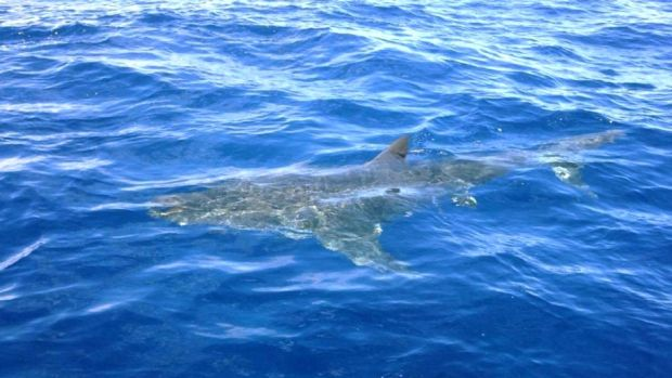 Charter skipper Matt Betts of The Sheriff  encountered this great white shark off Narooma.