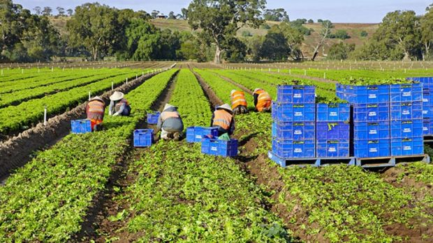 The lettuce farm owned and operated by Tripod Farmers.