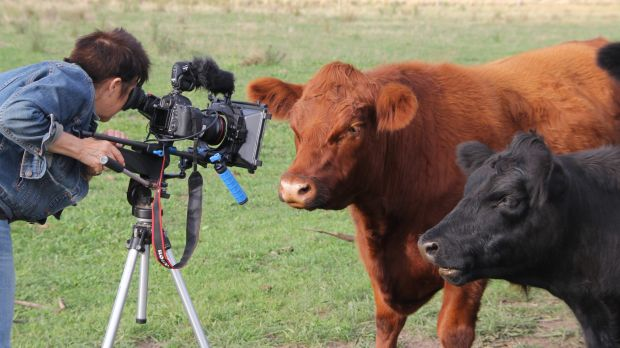 Billie Dean directing her rescued cows for the web series <i>Wisdom from the Paddock</i>.