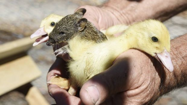 The baby bandicoot with two of the ducklings he snuggled up to.