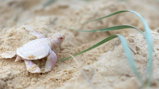 Alby the albino turtle makes his way down the Sunshine Coast beach toward international stardom.