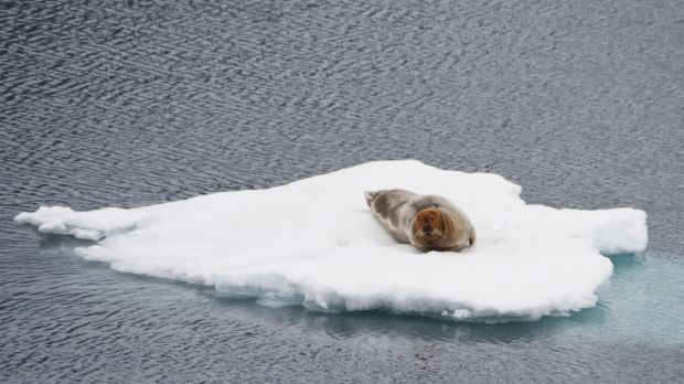 A bearded seal floating on sea ice in the Arctic.