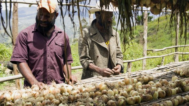 Chris Suya (left) and Max Soa inspect the first harvest of bulb onions at their cooperative in Maramun village. About 80 ...