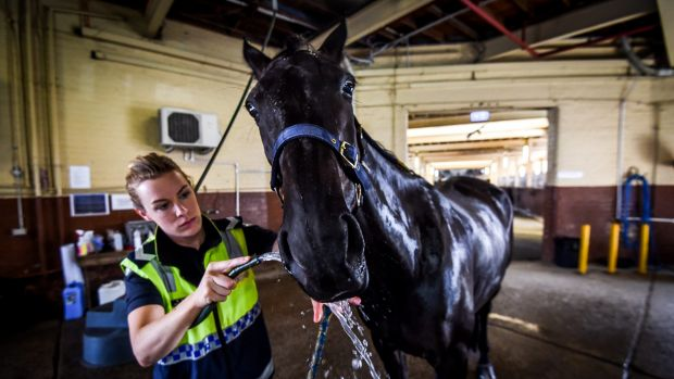 Acting Sergeant Rebecca Russ hosing down Tom at the Victoria Police Mounted Branch stables at Southbank.