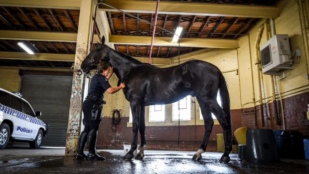A staff member of the Victoria Police Mounted Branch washes down a horse at the 104-year-old Southbank stables which ...