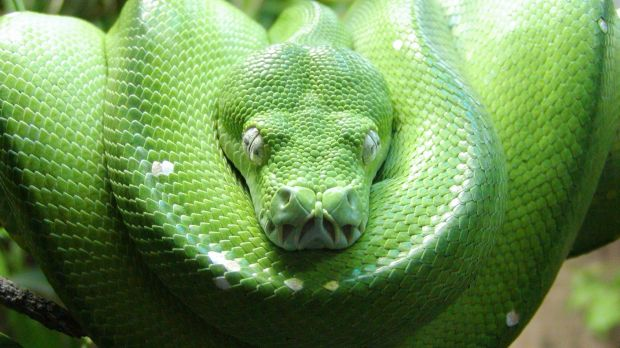 Most of the animals smuggled to Australia from Indonesia are reptiles – such as the green tree python (pictured) –which ...