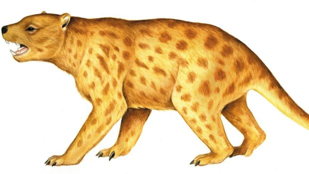 The marsupial lion was roughly 1.5 metres long and stood about 75 centimetres tall at the shoulder.