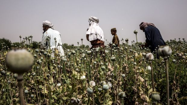 Afghan farmers harvest poppies in the Nad Ali district of Helmand province last year.
