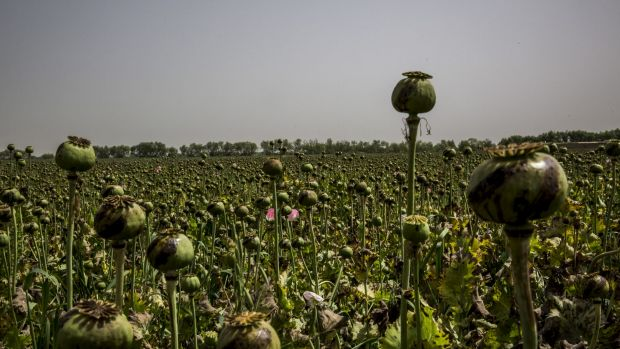 A field of poppies in Helmand province in Afghanistan last year.