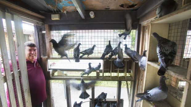 Victorian Racing Pigeon Union president Tony Price has his hands full looking after his racing pigeons.