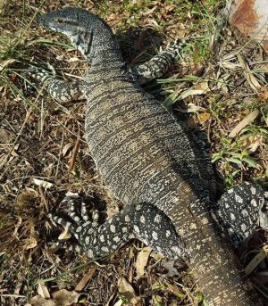 A close up of the goanna which roamed the streets.