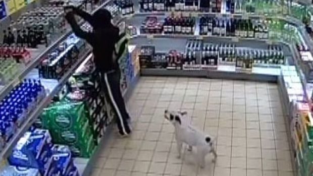 CCTV footage showed a man raiding the discount supermarket's alcohol aisle with the dog in tow.