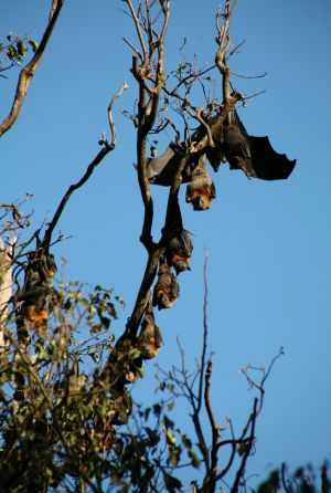 Black Headed flying fox among Grey Headed colony.