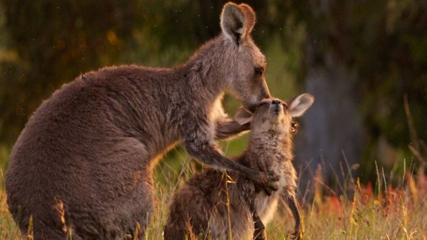 Kangaroo cull opponents plan to hold a protest outside court in Canberra on Wednesday.