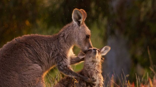 The number of Eastern Grey kangaroos allowed to be culled in Victoria hit almost 170,000 last year.