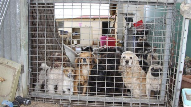 A South Australian puppy factory that was found to be selling dogs to pet stores affiliated to the industry's peak body, ...