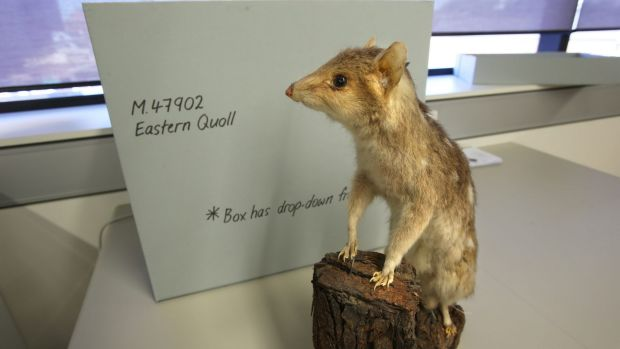The specimen was recently handed over to the National Parks and Wildlife Service in Gloucester by a local resident.