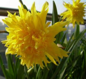 The Rip Van Winkle daffodil is the variety planted at the homestead site at Uriarra.