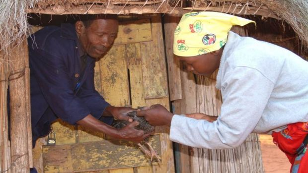 A Mozambican woman administers Newcastle disease vaccination to a chicken.