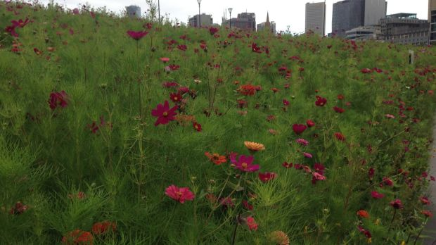 Flower meadow at Birrarung Marr.