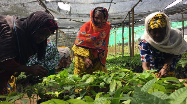 Women tend high-yielding cocoa plantlings at Agathe Vanie's co-operative nursery in Divo.
