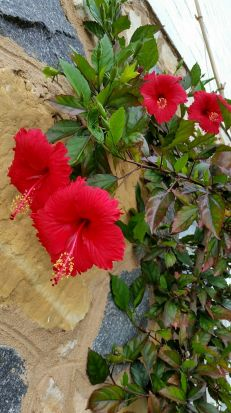 Michael Calkovics - This tropical heat loving Hibiscus has been growing outside in the ground for the last 6 years at ...