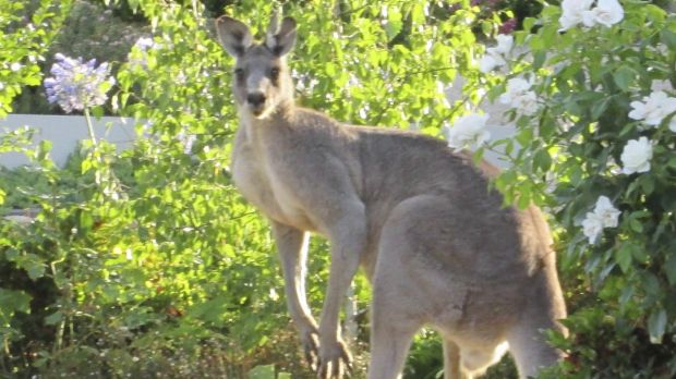 Kangaroos have been making the headlines lately.