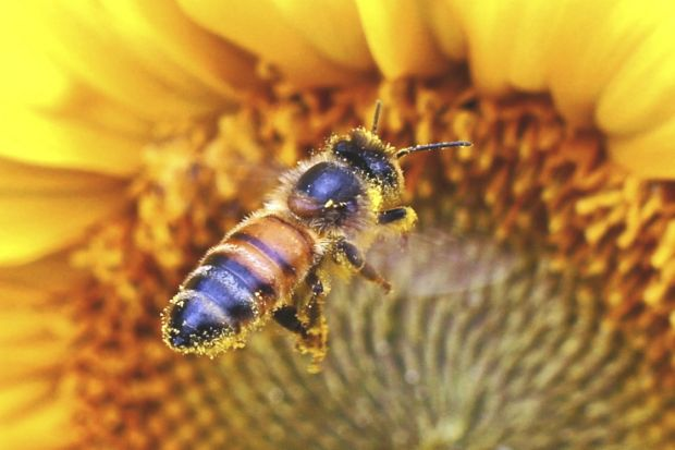Sue Spicer - The summer buzz: a pollen-laden bee.