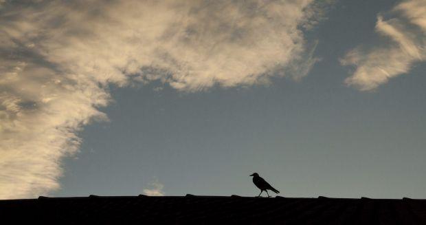 Belinda Collins -  The strolling magpie. As the Canberra evening cools the birds come out to play. This magpie hopped ...