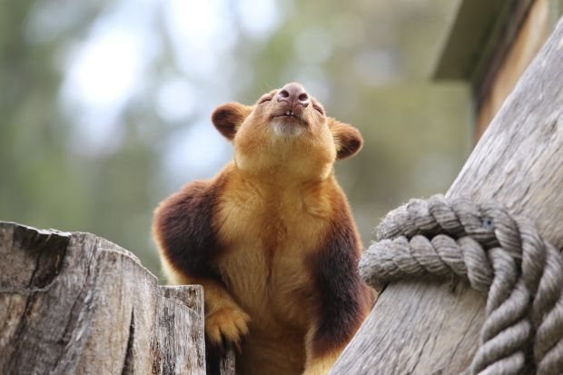 Maarit Maher - Fresh summer morning. One of the Goodfellow's tree kangaroos at the National Zoo and Aquarium taking a ...