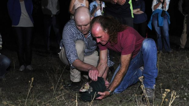 Professor Adrian Manning and Glen Freeman release the first eastern quoll into the ACT in at least 80-years.