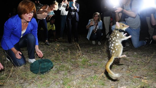 An eastern quoll put on a show for the cameras when it was released at Mulligans Flat Woodland Sanctuary by Meegan ...