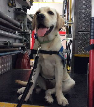 Pixie was one of seven Seeing Eye puppies being socialised at Roma Street Fire Station.